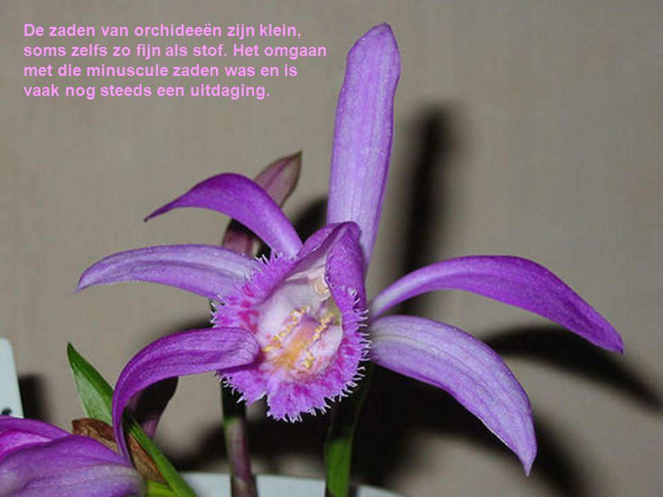 De zaden van orchideeën zijn klein, soms zelfs zo fijn als stof