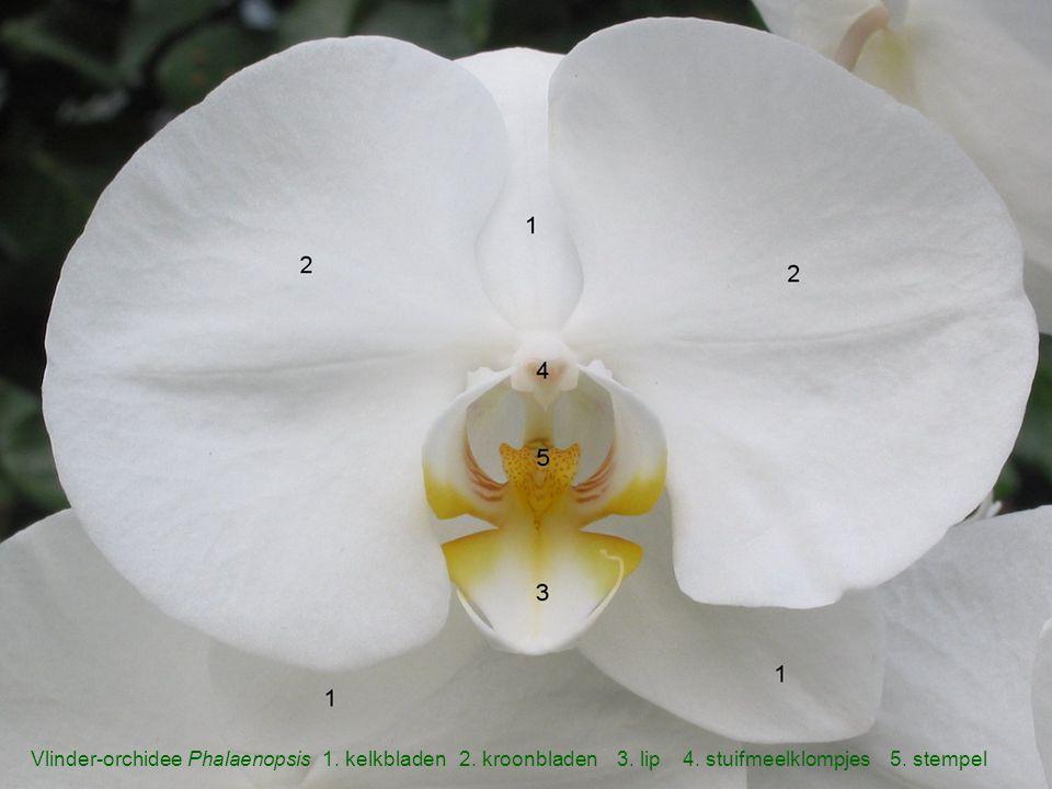 Vlinder-orchidee Phalaenopsis 1. kelkbladen 2. kroonbladen 3. lip 4