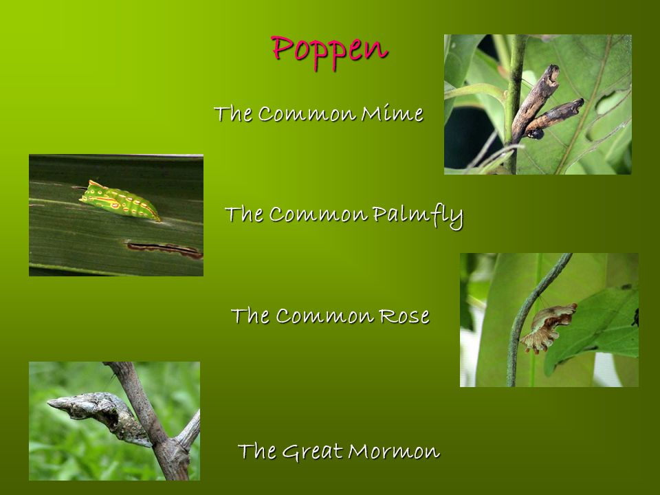 Poppen The Common Mime The Common Palmfly The Common Rose