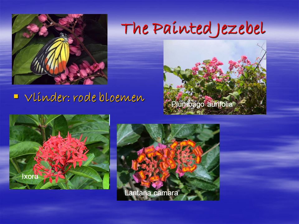 The Painted Jezebel Vlinder: rode bloemen Plumbago aurifolia
