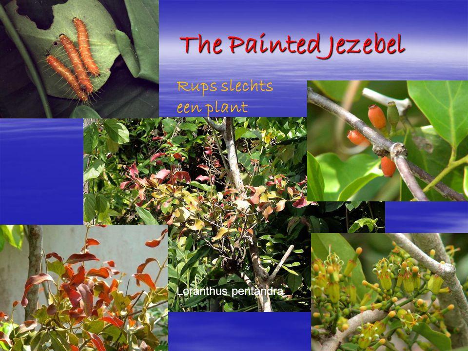 The Painted Jezebel Rups slechts een plant Loranthus pentandra