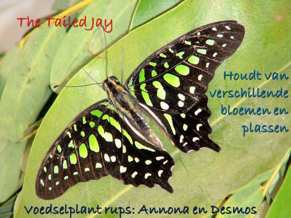 The Tailed Jay Houdt van verschillende bloemen en plassen