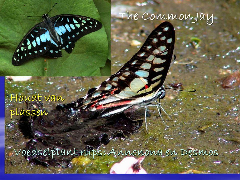The Common Jay Houdt van plassen Voedselplant rups: Annonona en Desmos