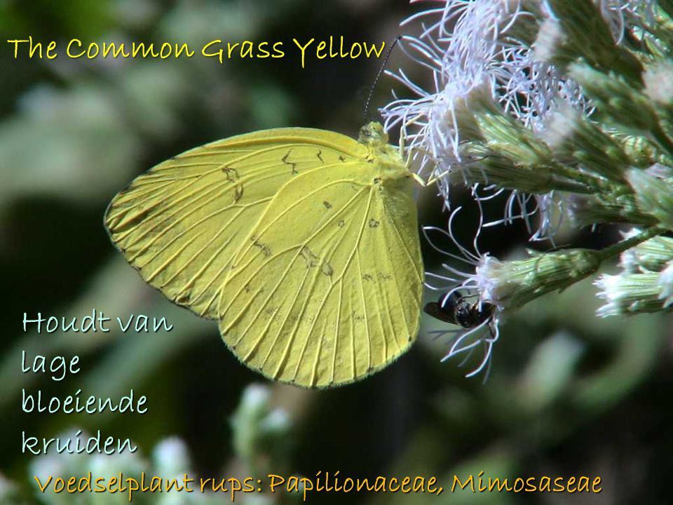 The Common Grass Yellow