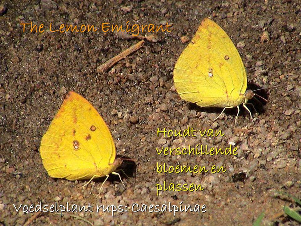The Lemon Emigrant Houdt van verschillende bloemen en plassen