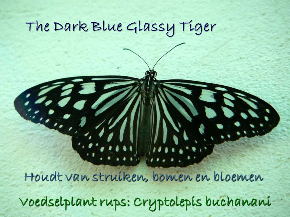 The Dark Blue Glassy Tiger