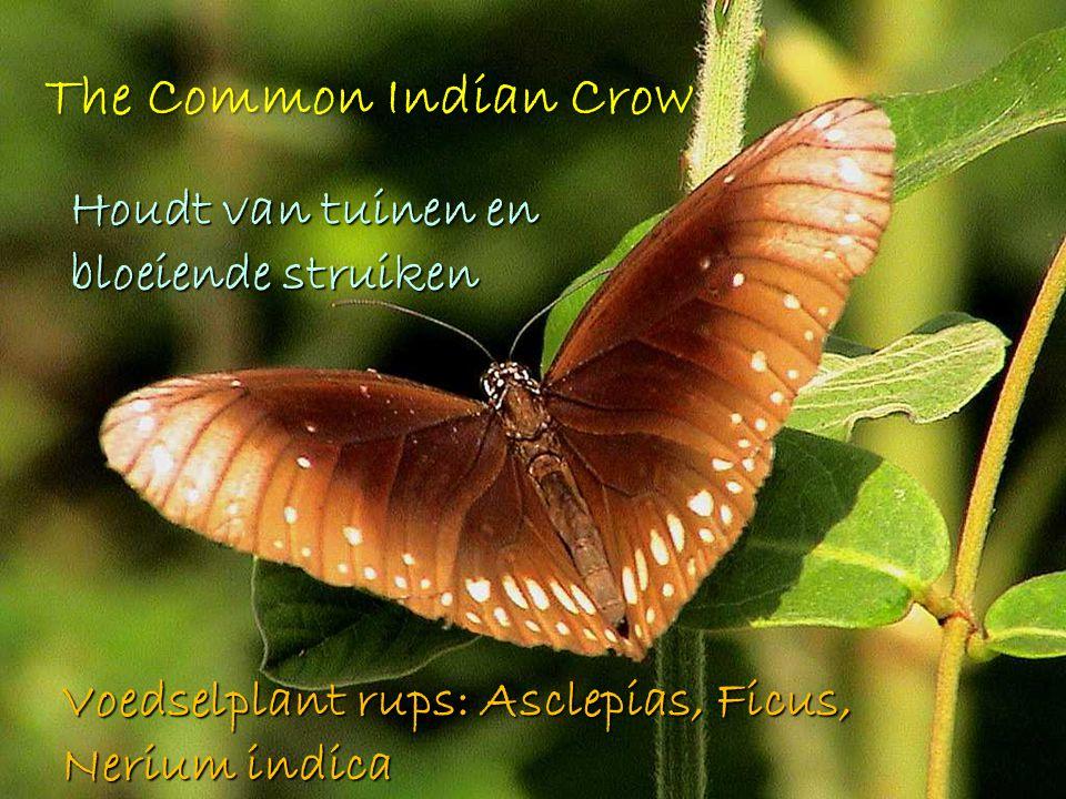 The Common Indian Crow Houdt van tuinen en bloeiende struiken