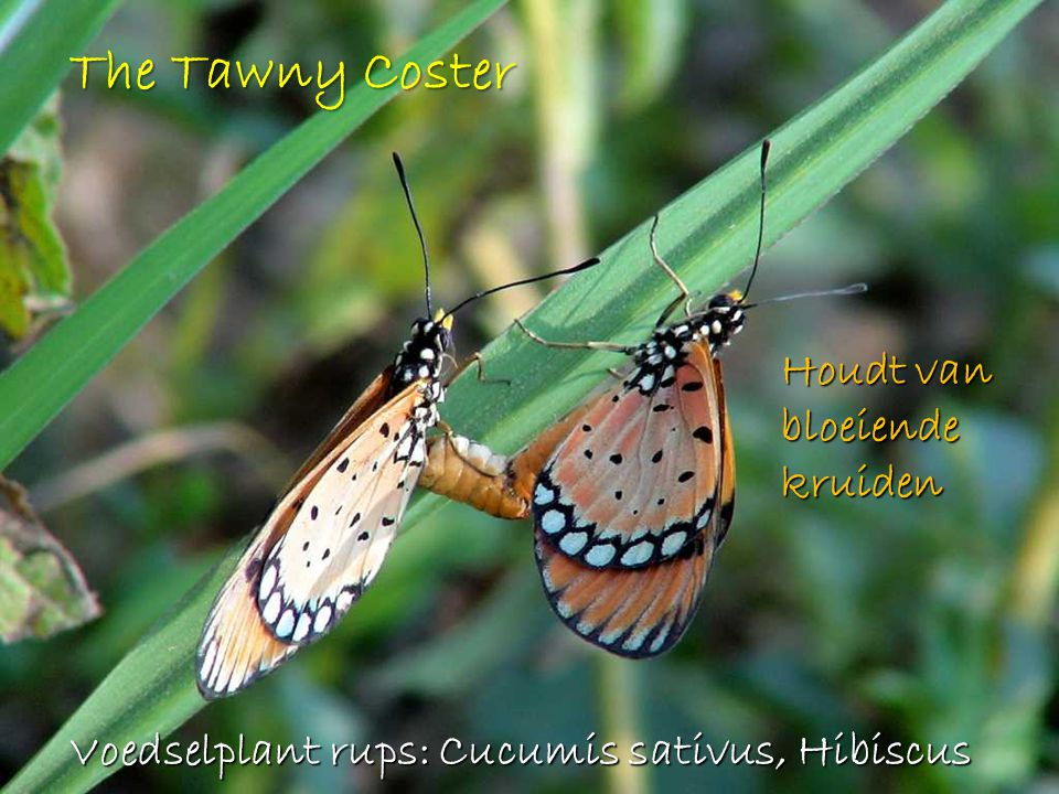 The Tawny Coster Houdt van bloeiende kruiden