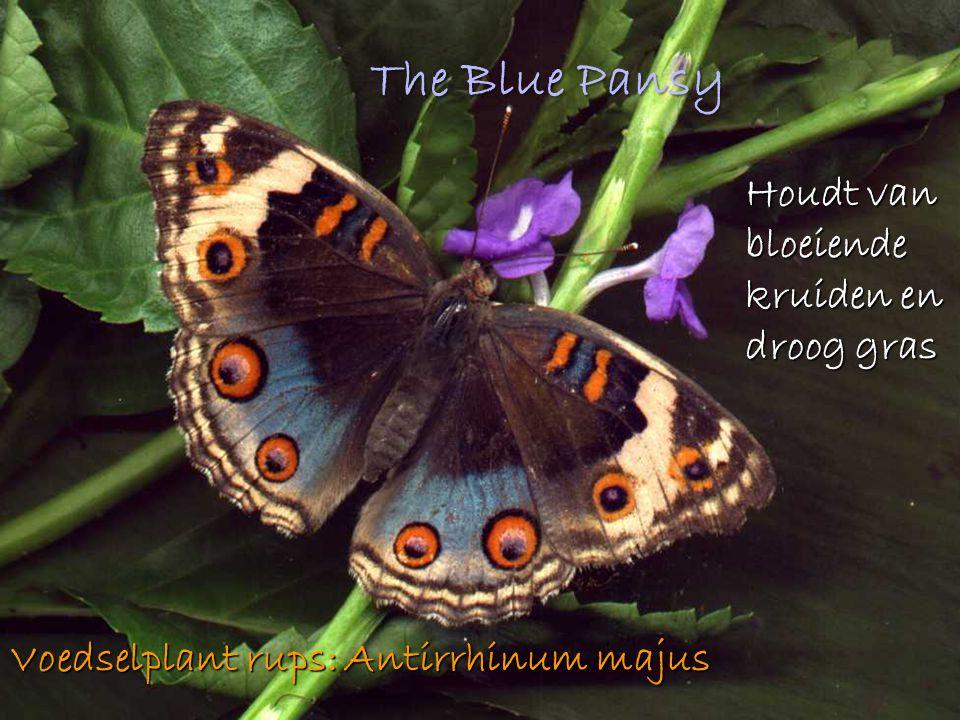 The Blue Pansy Houdt van bloeiende kruiden en droog gras