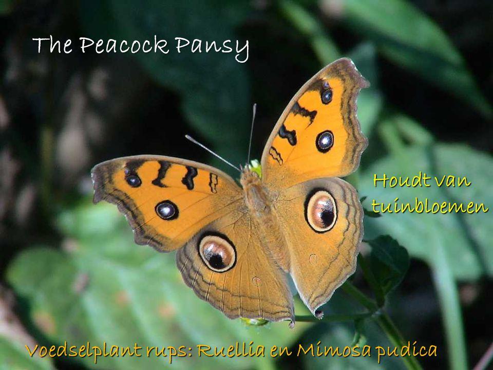 The Peacock Pansy Houdt van tuinbloemen