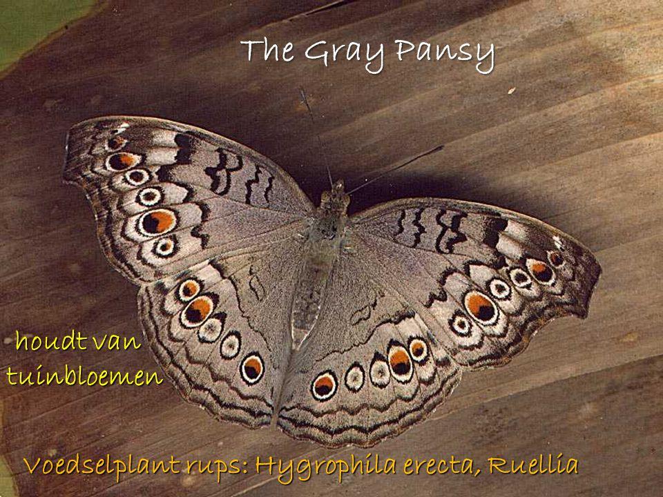 The Gray Pansy houdt van tuinbloemen