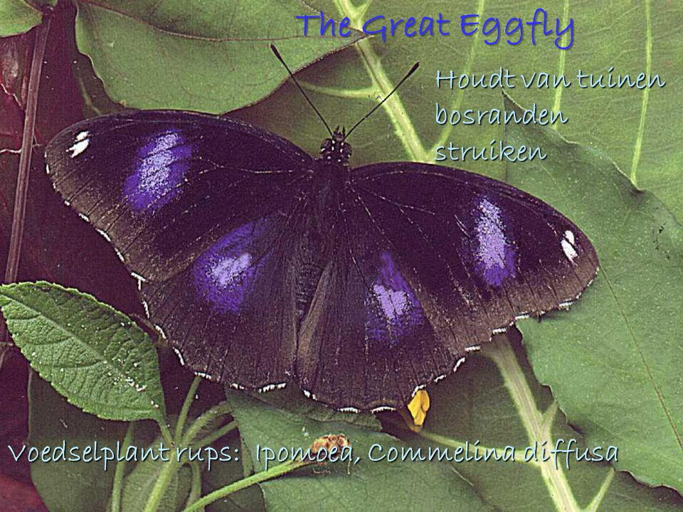 The Great Eggfly Houdt van tuinen bosranden struiken