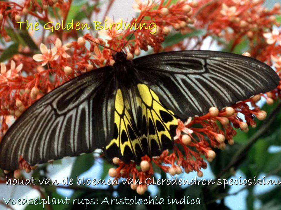 The Golden Birdwing houdt van de bloemen van Clerodendron speciosisimum.