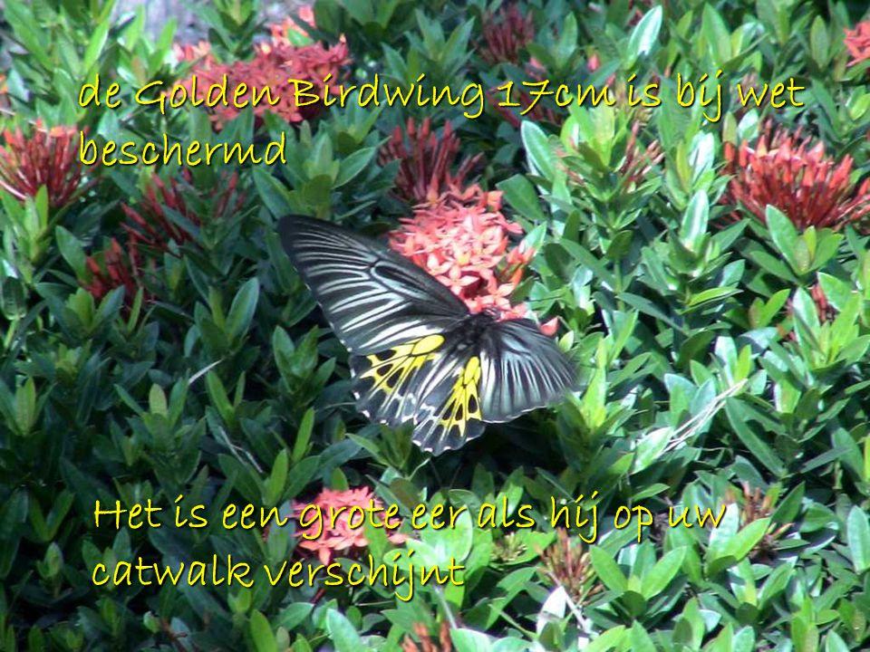 de Golden Birdwing 17cm is bij wet beschermd