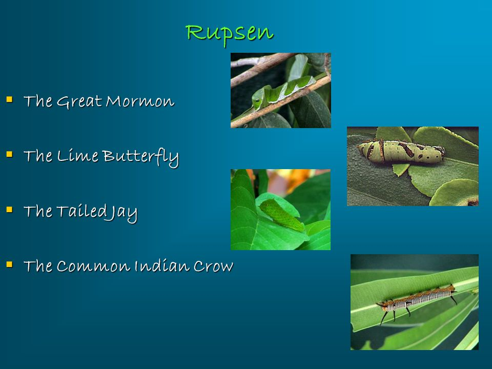 Rupsen The Great Mormon The Lime Butterfly The Tailed Jay