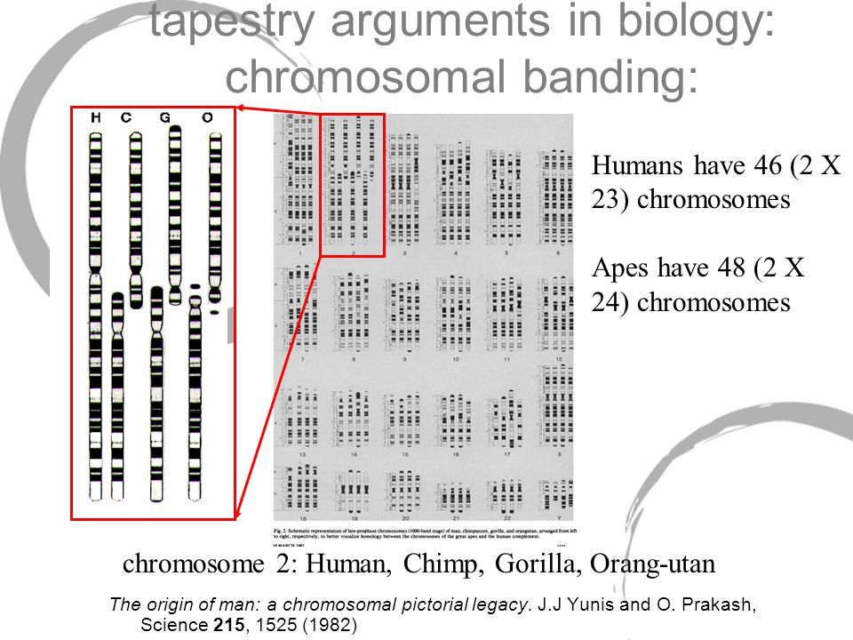 tapestry arguments in biology: chromosomal banding: