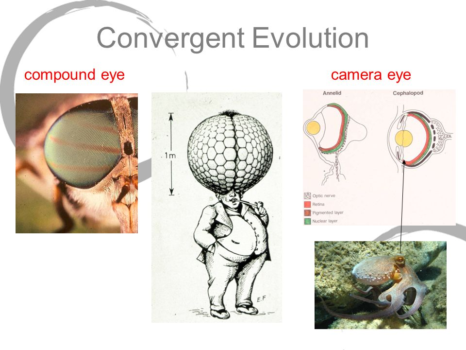 Convergent Evolution compound eye camera eye 49