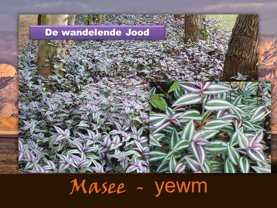 De wandelende Jood Masee - yewm