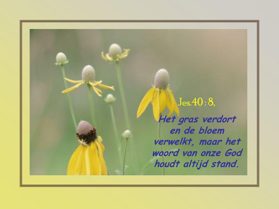 Jes.40 : 8, Het gras verdort en de bloem verwelkt, maar het woord van onze God houdt altijd stand.