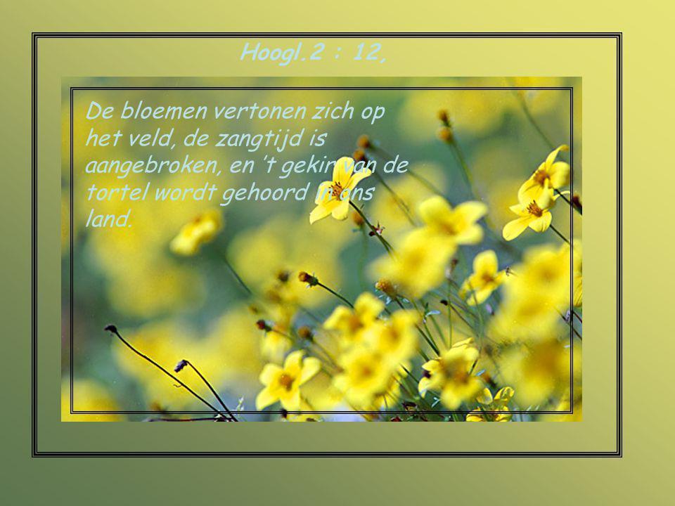Hoogl.2 : 12, De bloemen vertonen zich op het veld, de zangtijd is aangebroken, en 't gekir van de tortel wordt gehoord in ons land.