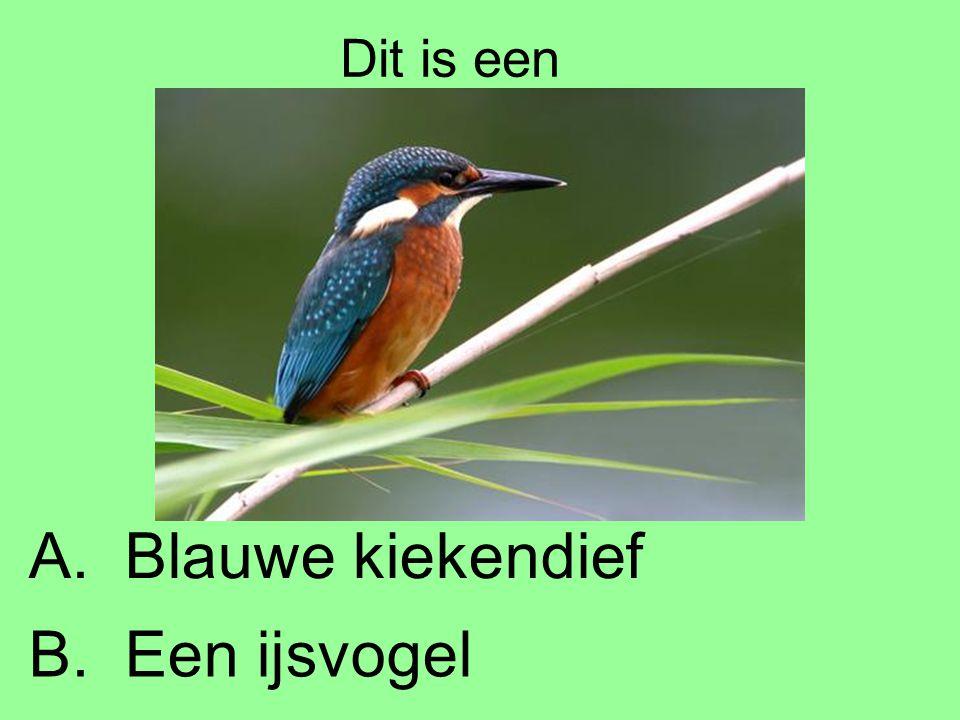 Dit is een A. Blauwe kiekendief B. Een ijsvogel