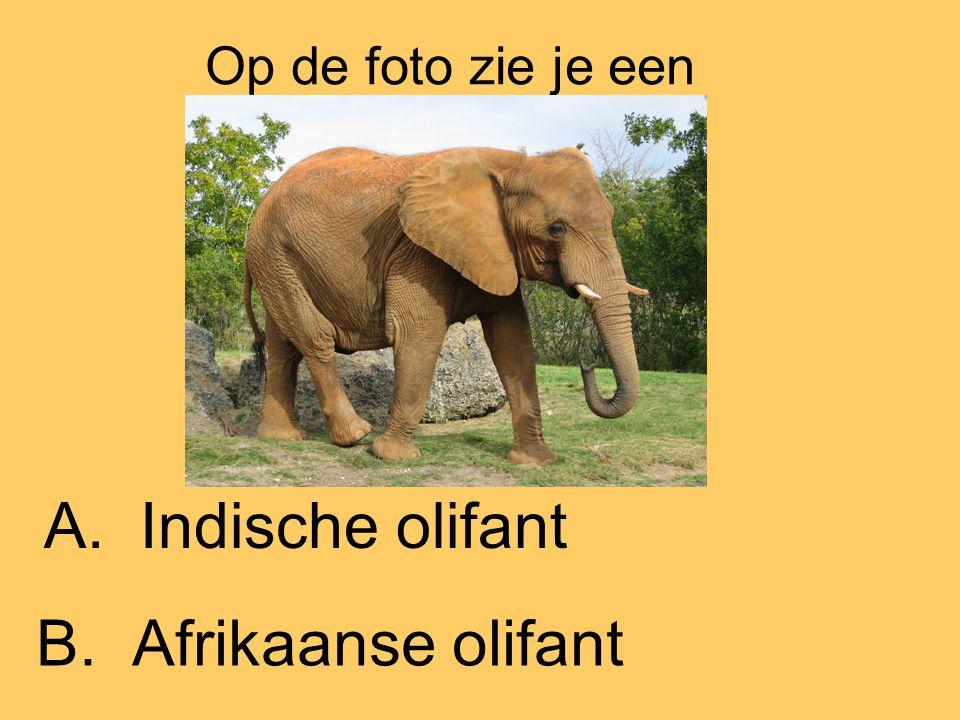 Op de foto zie je een A. Indische olifant B. Afrikaanse olifant