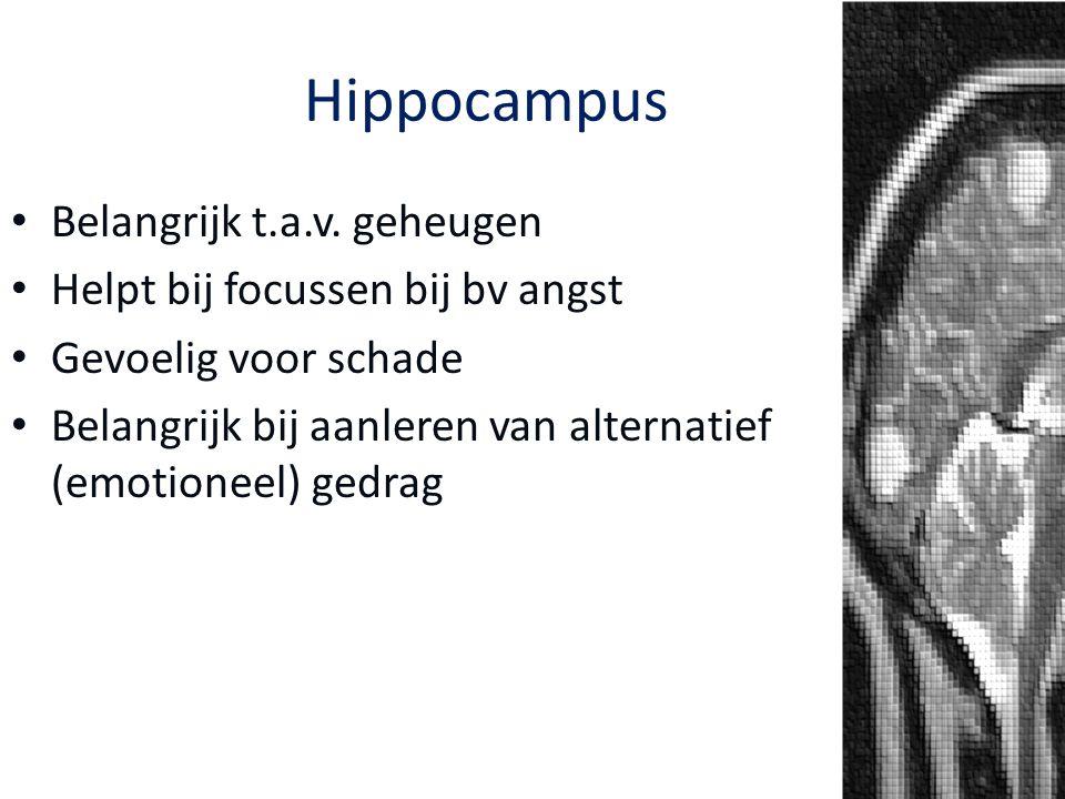 Hippocampus Belangrijk t.a.v. geheugen Helpt bij focussen bij bv angst