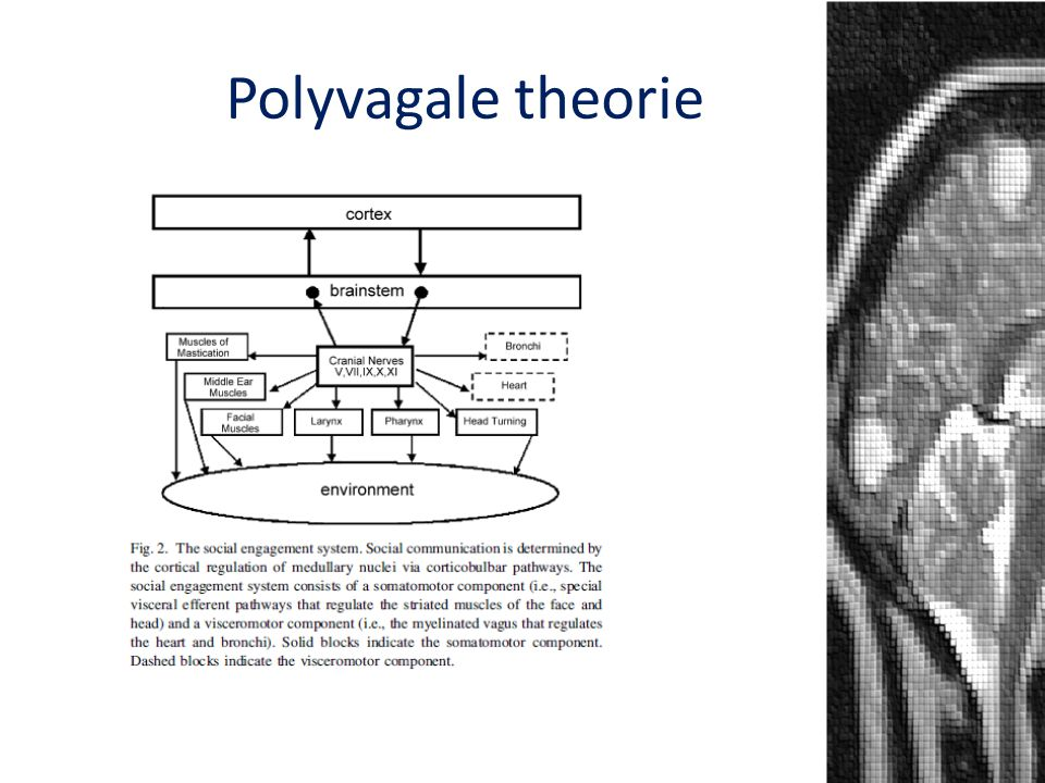 Polyvagale theorie