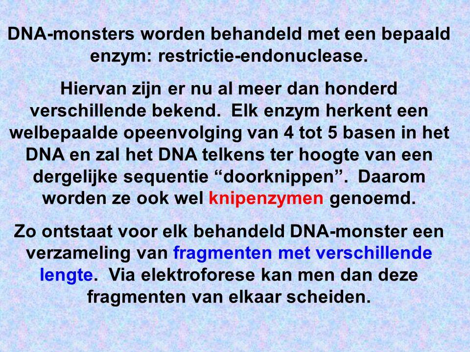 DNA-monsters worden behandeld met een bepaald enzym: restrictie-endonuclease.