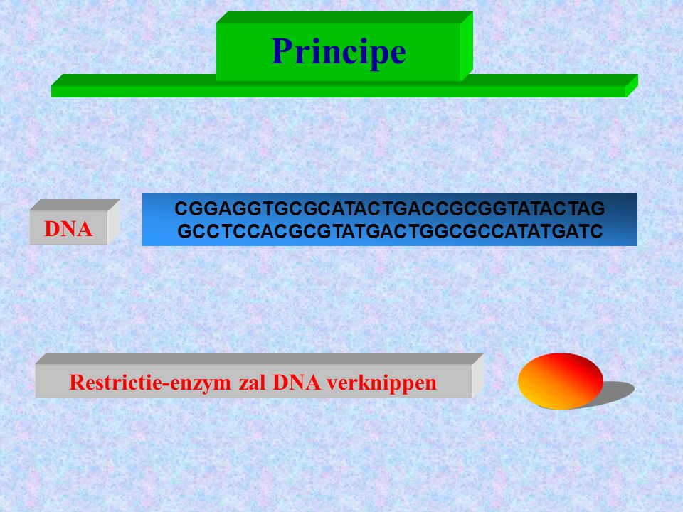 Principe DNA Restrictie-enzym zal DNA verknippen