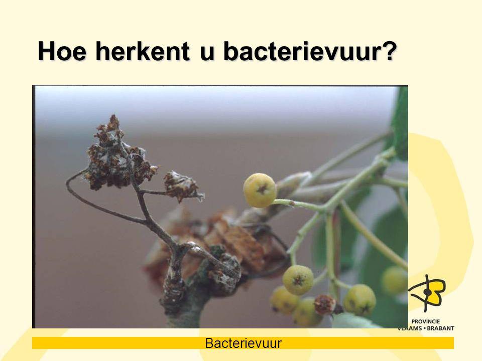 Hoe herkent u bacterievuur
