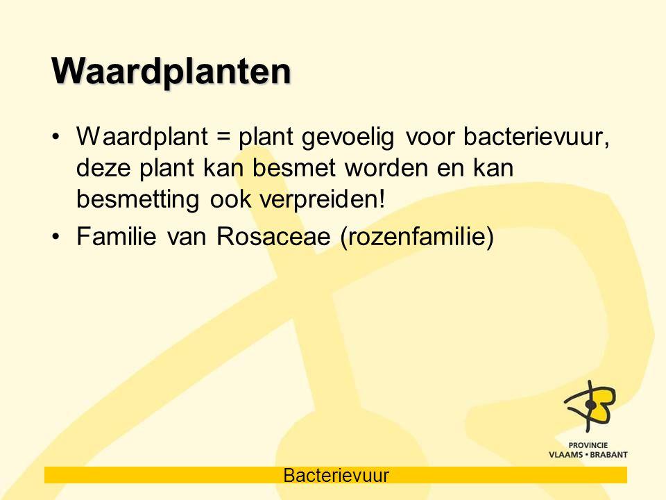 Waardplanten Waardplant = plant gevoelig voor bacterievuur, deze plant kan besmet worden en kan besmetting ook verpreiden!
