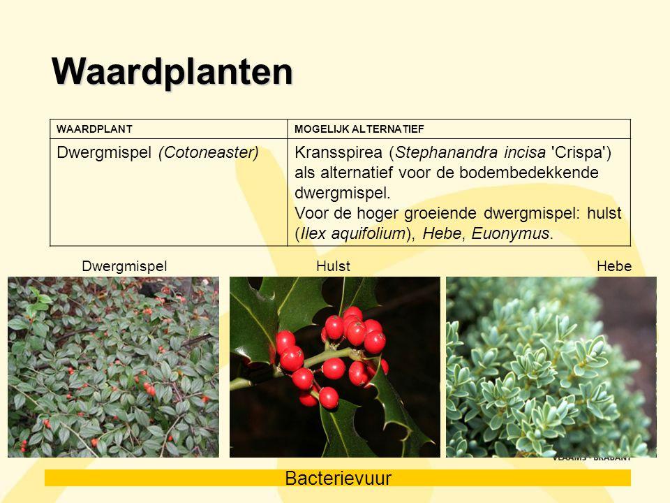 Waardplanten Dwergmispel (Cotoneaster)