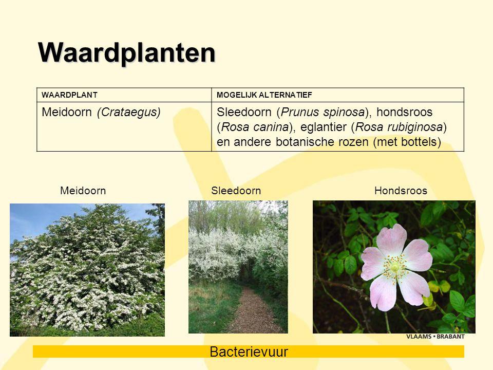 Waardplanten Meidoorn (Crataegus)