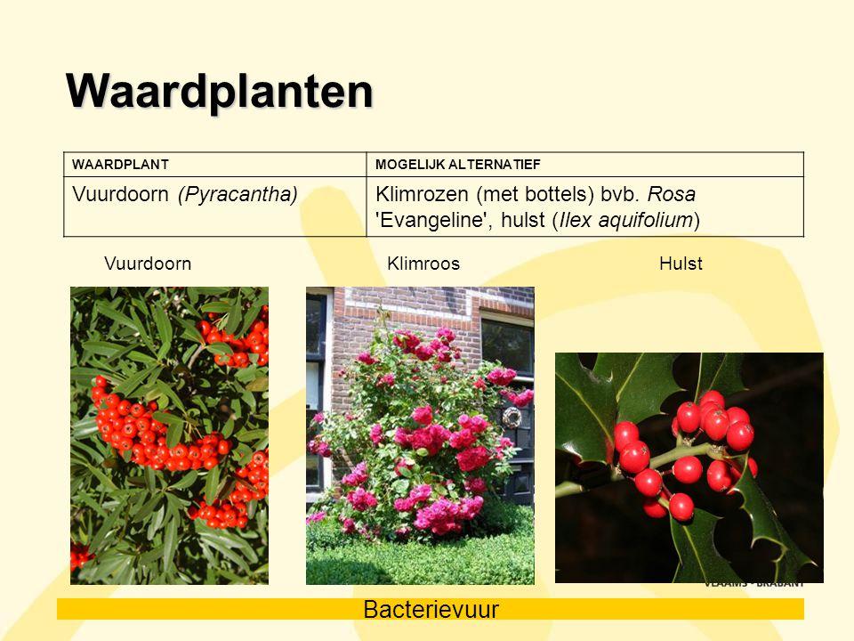 Waardplanten Vuurdoorn (Pyracantha)