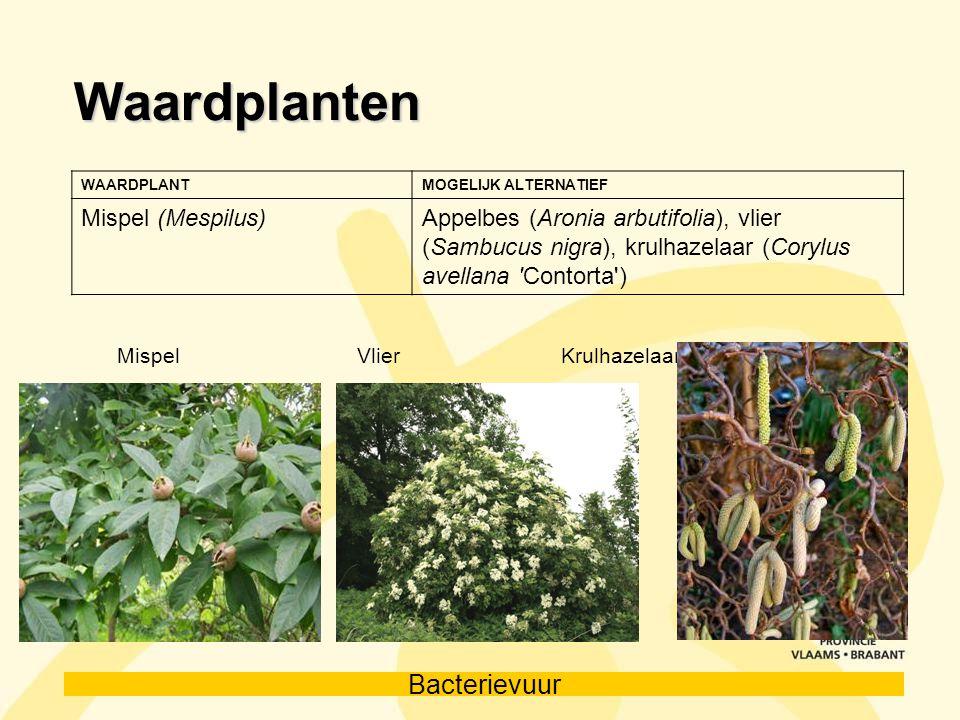 Waardplanten Mispel (Mespilus)