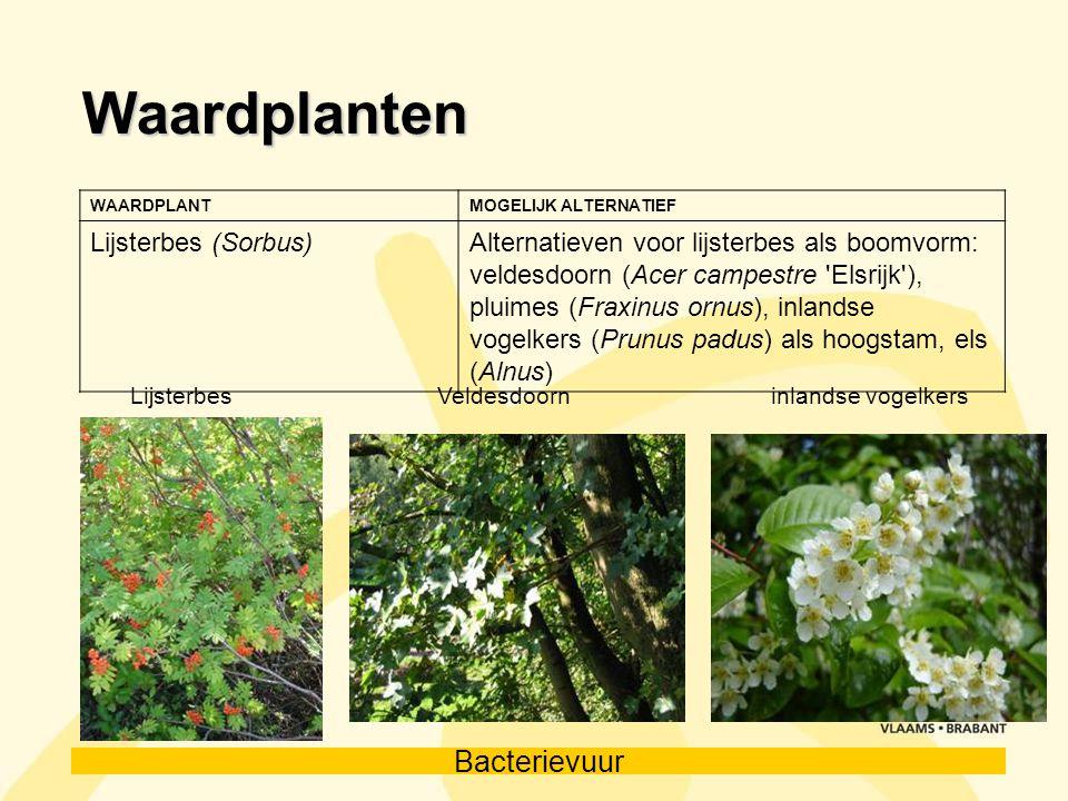 Waardplanten Lijsterbes (Sorbus)