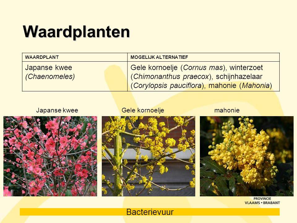 Waardplanten Japanse kwee (Chaenomeles)