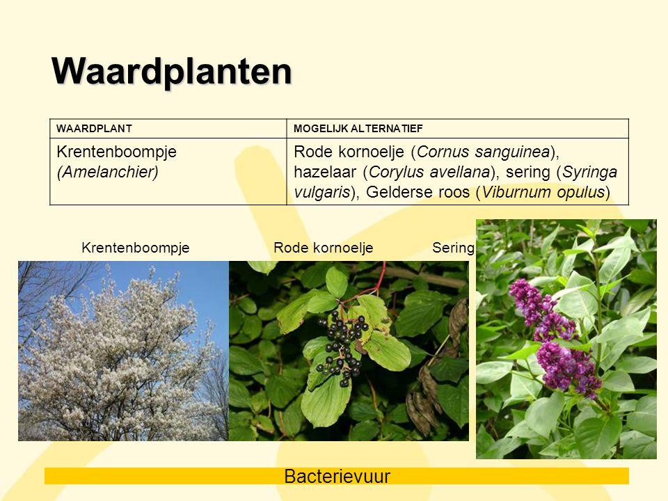 Waardplanten Krentenboompje (Amelanchier)