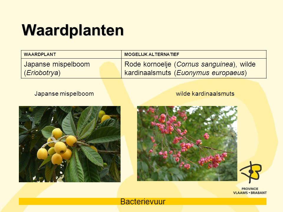 Waardplanten Japanse mispelboom (Eriobotrya)