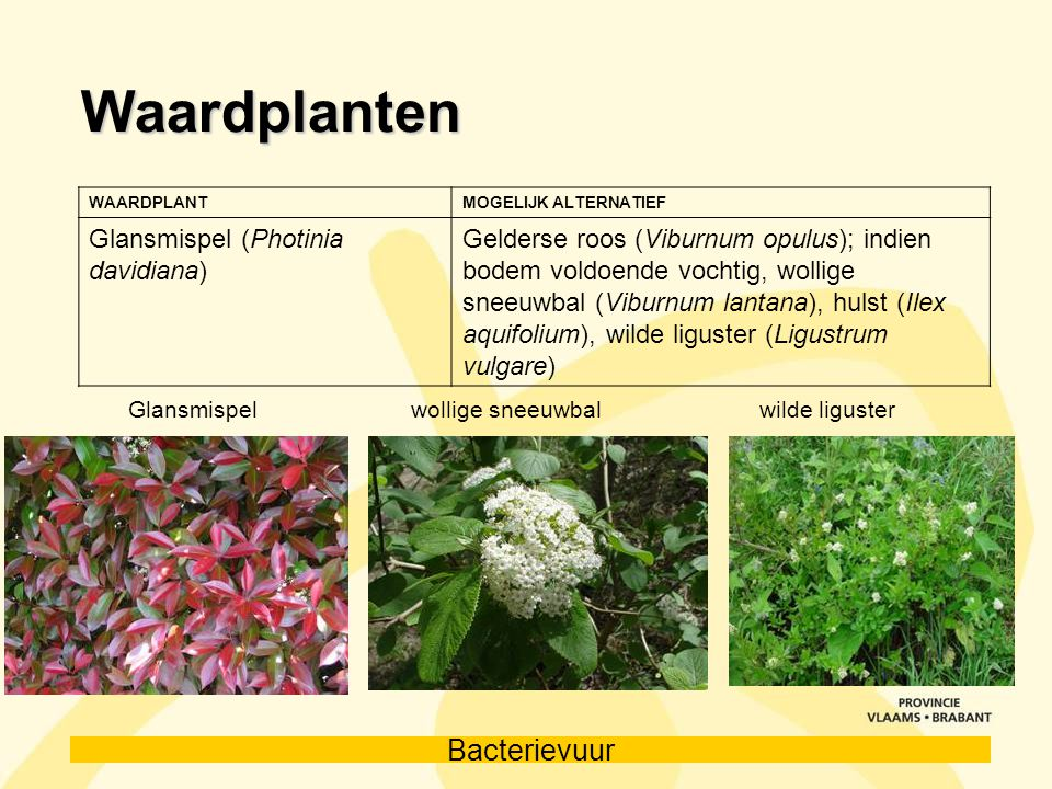 Waardplanten Glansmispel (Photinia davidiana)