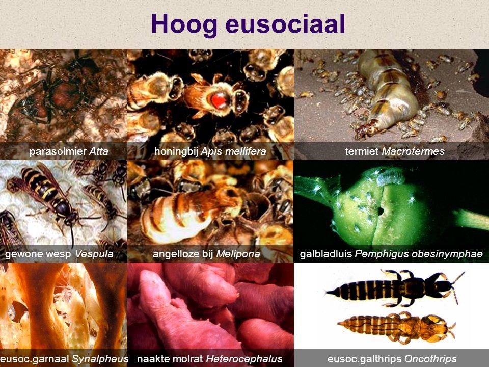 Hoog eusociaal parasolmier Atta honingbij Apis mellifera termiet Macrotermes.