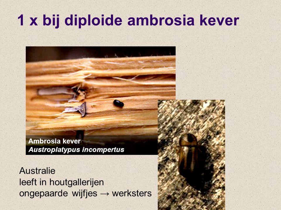 1 x bij diploide ambrosia kever