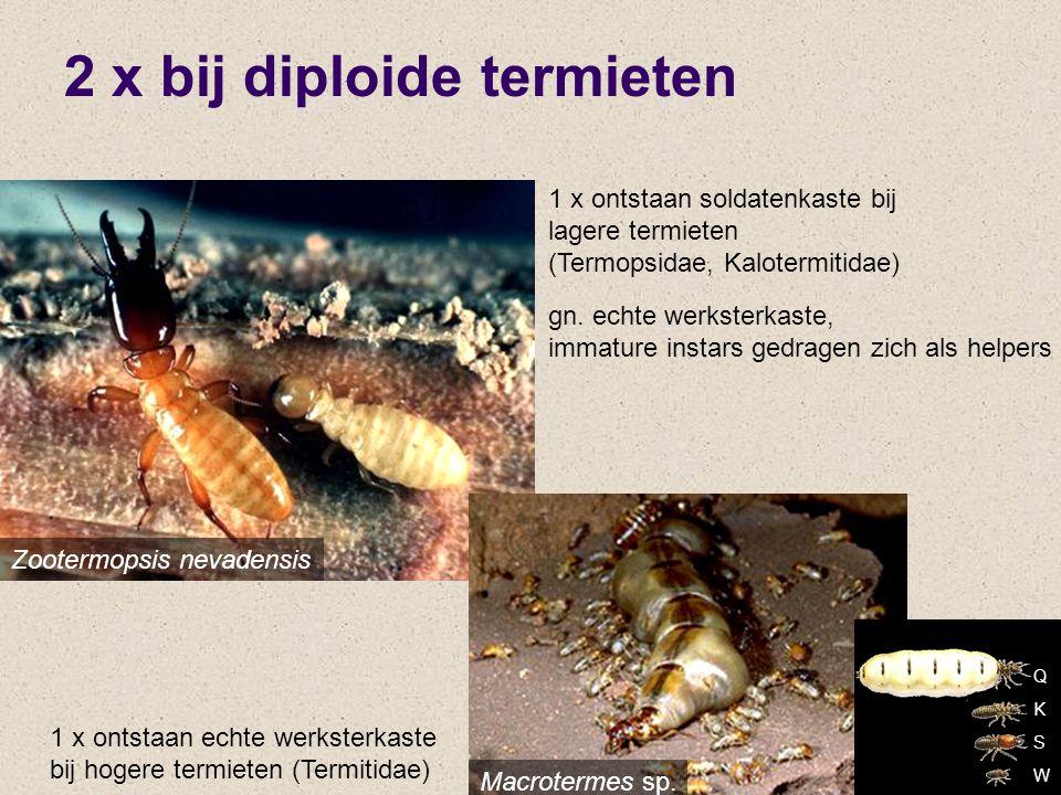 2 x bij diploide termieten