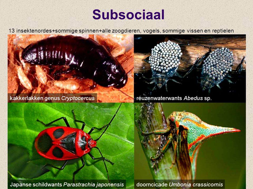 Subsociaal 13 insektenordes+sommige spinnen+alle zoogdieren, vogels, sommige vissen en reptielen. kakkerlakken genus Cryptocercus.