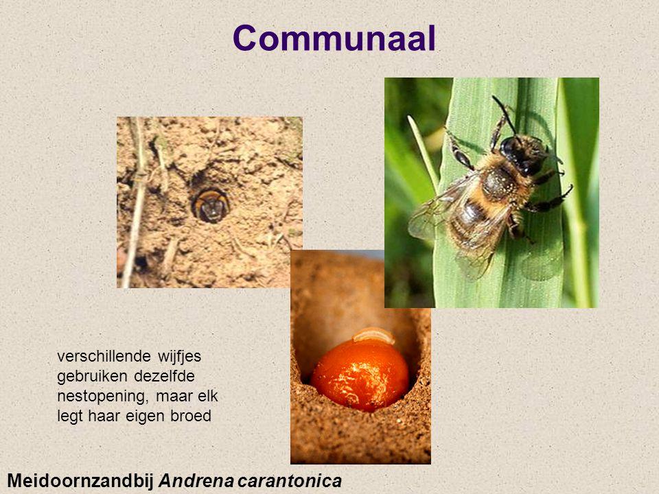 Communaal Meidoornzandbij Andrena carantonica
