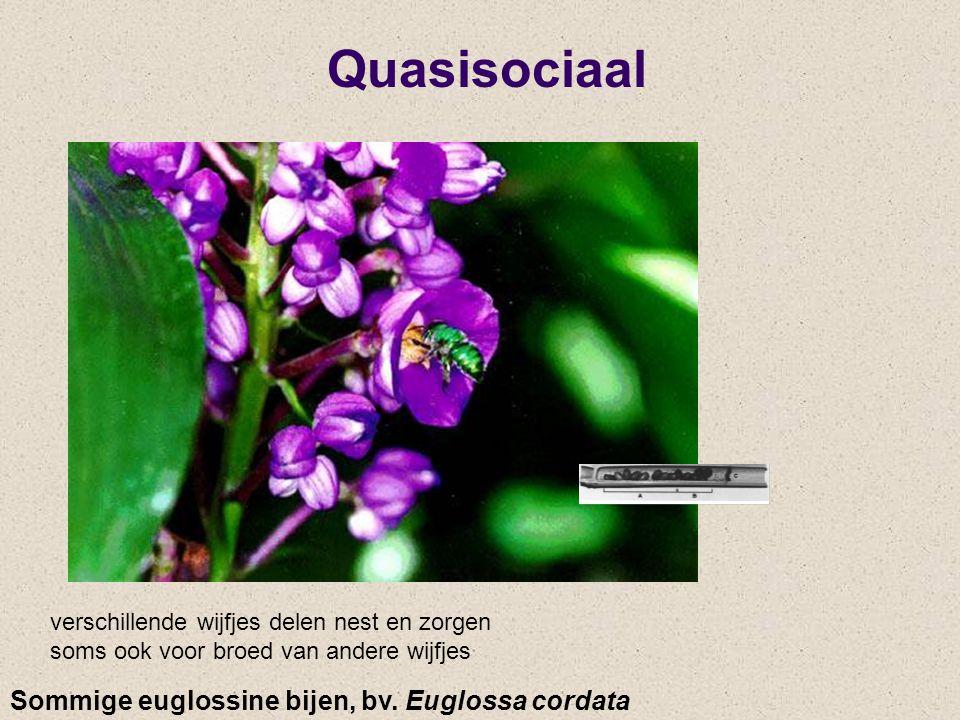 Quasisociaal Sommige euglossine bijen, bv. Euglossa cordata