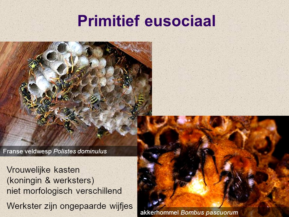 Primitief eusociaal Franse veldwesp Polistes dominulus. Vrouwelijke kasten (koningin & werksters) niet morfologisch verschillend.