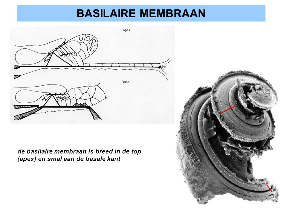 BASILAIRE MEMBRAAN de basilaire membraan is breed in de top (apex) en smal aan de basale kant