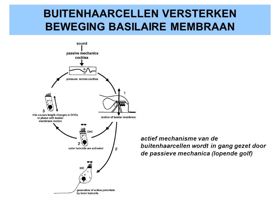 BUITENHAARCELLEN VERSTERKEN BEWEGING BASILAIRE MEMBRAAN